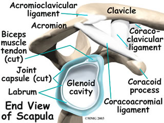 scapula and clavicle relationship help